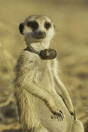 Meerkats, prelazeći cestu. (Foto Simon Townsend / Univerzitetu u Cirihu.)