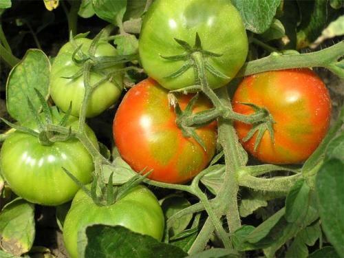 Zrenje rajčice. Metode zrenje paradajz