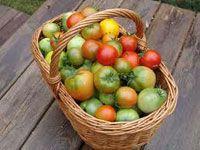 Povrće, paradajz, zrenja paradajz paradajz zrenje metode