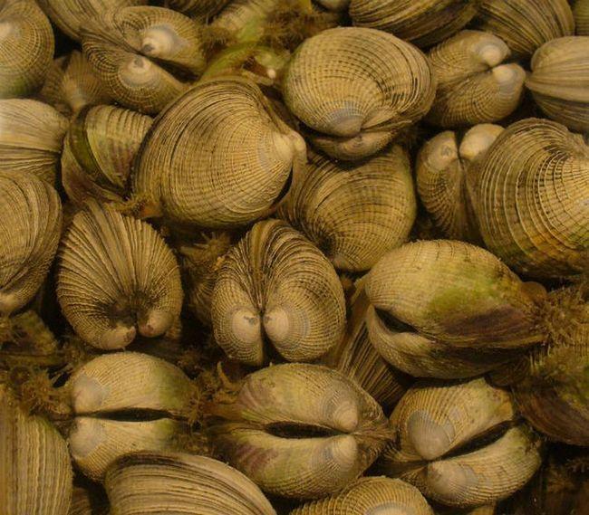 tražili rijetki izotopi za u školjki školjke (foto Wikimedia Commons).