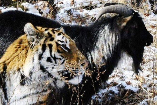 Prijateljstvo tigar i koza.
