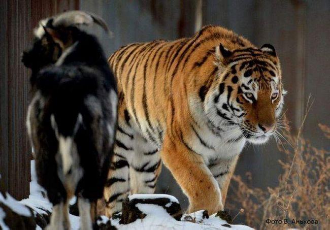 Čudno prijateljstvo predatora i plijena.