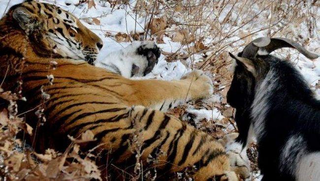 Tiger i koza Timur.