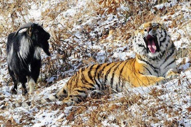 Tiger i koza.