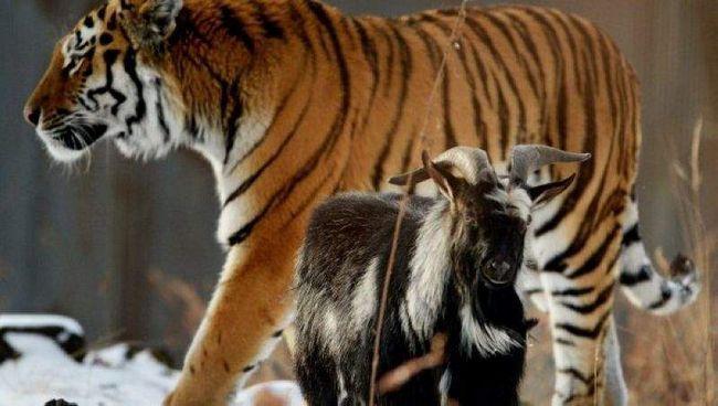 Zašto tigar nije jeo kozu Timur?