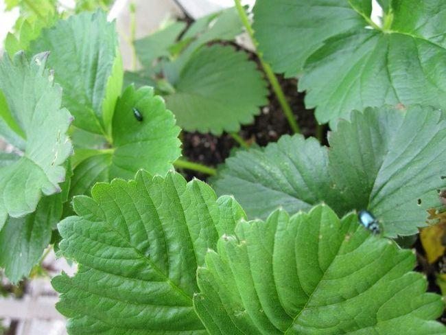 Oak Flea skúma jahodovej plantáže.