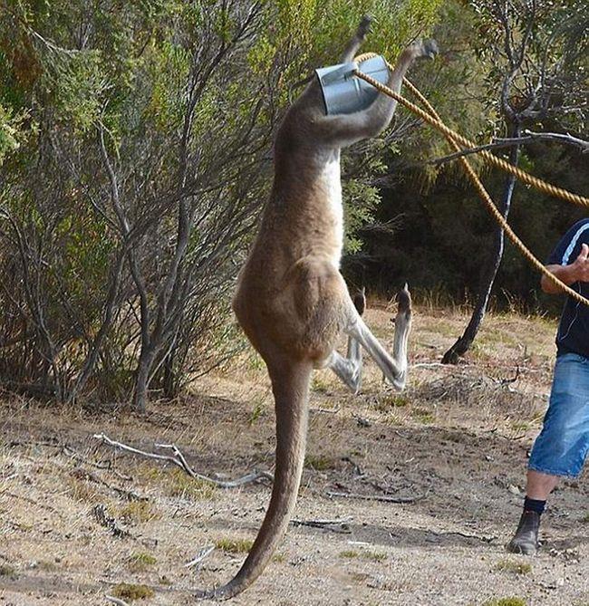 Rescue: kengura zaglavljena u kanticu za zalivanje.