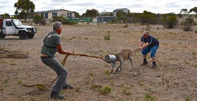 Два австралийца спасли застрявшего кенгуру