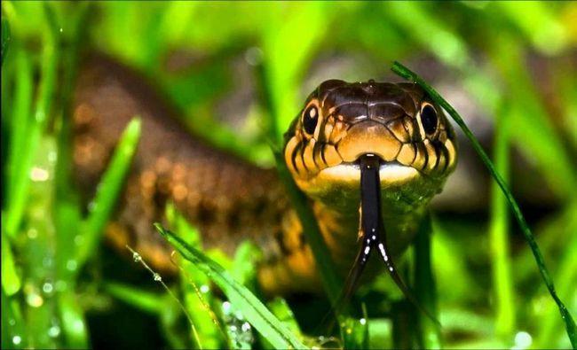 Otrov pojedinih zmija je dovoljno jaka da ubije osobu. Neotrovno zmije ugušiti ili pojesti plijen cjelini.