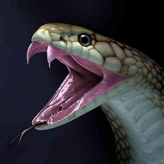 Zmije često slomiti zube, tako da je snabdijevanje ovih tijela imaju neograničen.