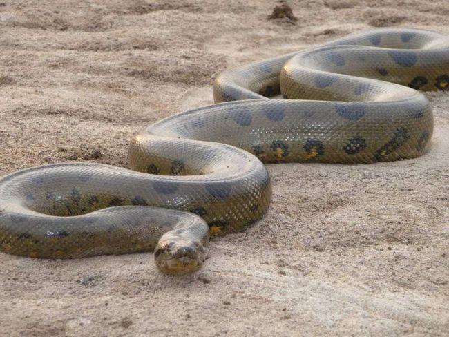 Mesh pitoni - najduža zmija na svijetu. Oni su u stanju da jedu ovce, postoje slučajevi uspješnih napada na ljude.
