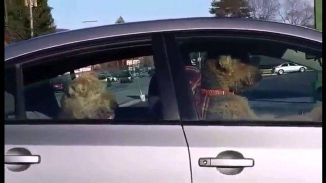 Psi, takođe, mogu ukrasti automobil.