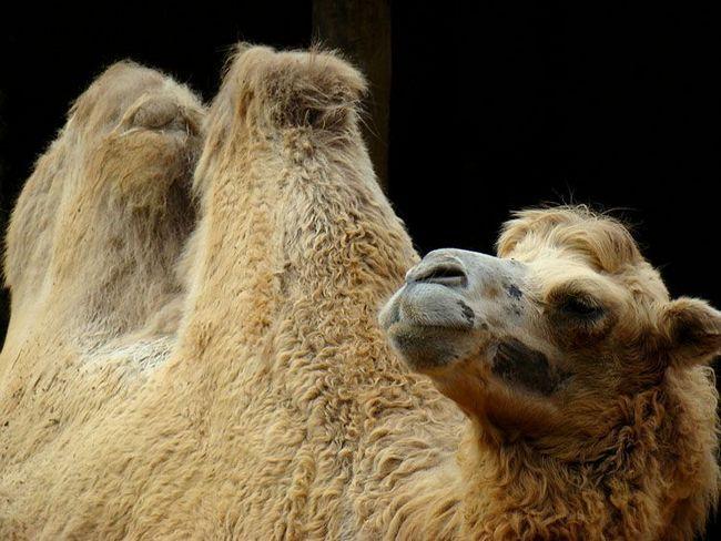 Dva se oglašavali Camel ili Bactrian (Camelus bactrianus)