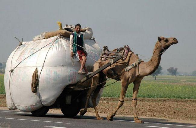 Neobična ulogu kamile - rad u timu