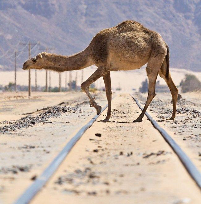 Feral Dromedary prelazi napuštena željeznička u Australiji pustinji