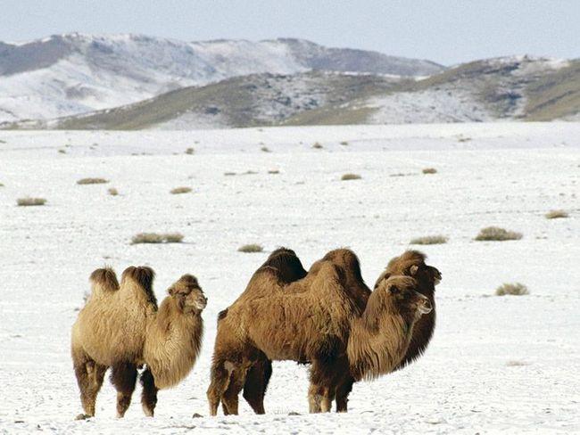 Dugi kaput štiti kamile, i topline i hladnoće, jer u pustinjama razlike između dana i noći temperatura je velika, tako da zaštiti od hipotermije u toku noći (za dva-najebali deve i zima) ne manje hitne nego zaštita od pregrijavanja