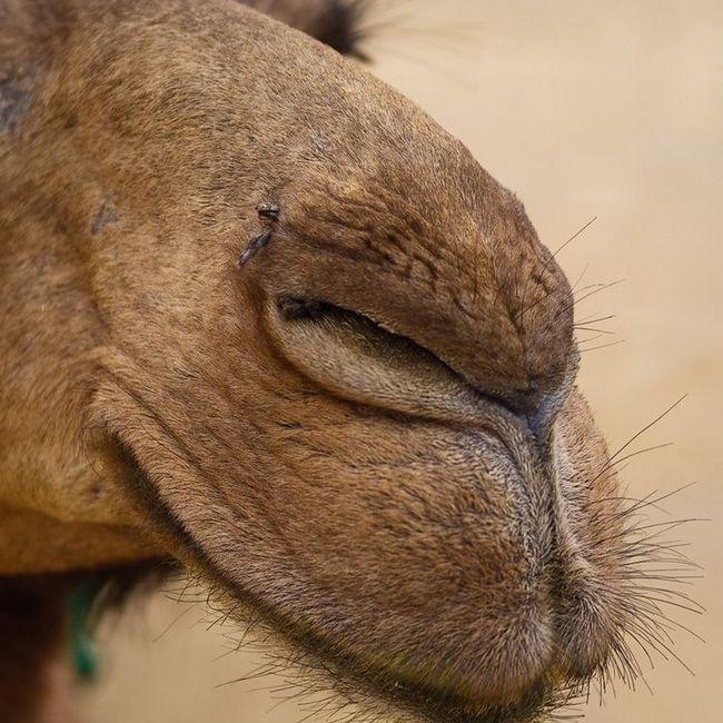 Camel nozdrve uske, usne meke i kandže,