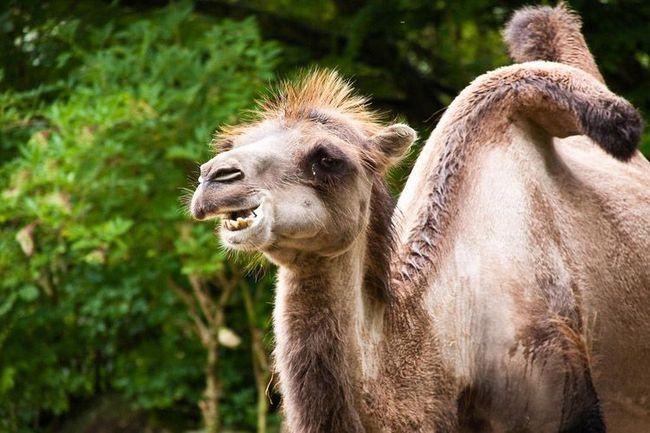 O kamila stanje može suditi prema veličini njegove grbe: dobro dovodom deva je puna grbe, postio životinje nisu ispunjeni masti i druženje