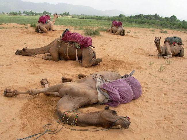 Sleeping kamile ležanje, a oni su popustili noge i povukao vrata ili pasti na njegovoj strani