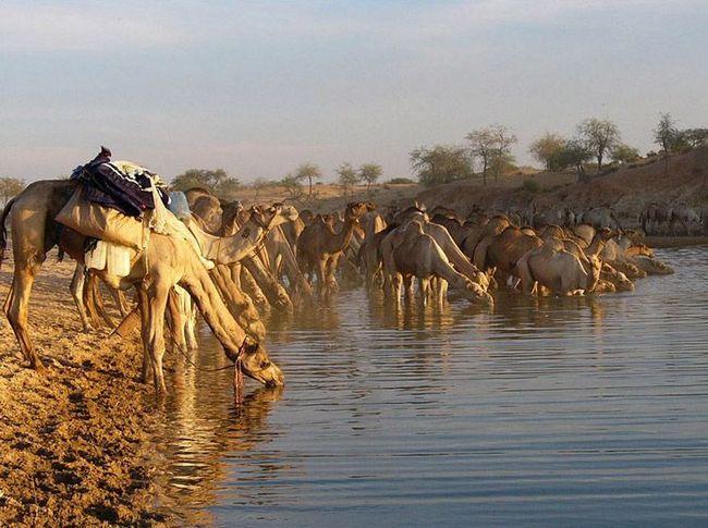 Za razliku od mnogih pustinja životinje kamile se ne plaše vode, za dugo vremena i puno pije