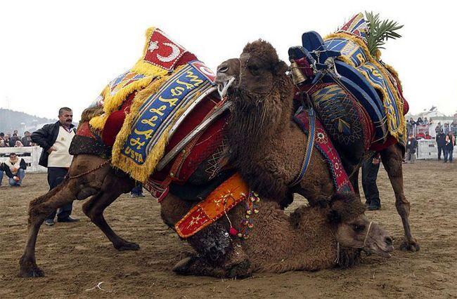 Dva mužjaka su uključeni u tradicionalnim Camel borbe, koja je održana u Turskoj