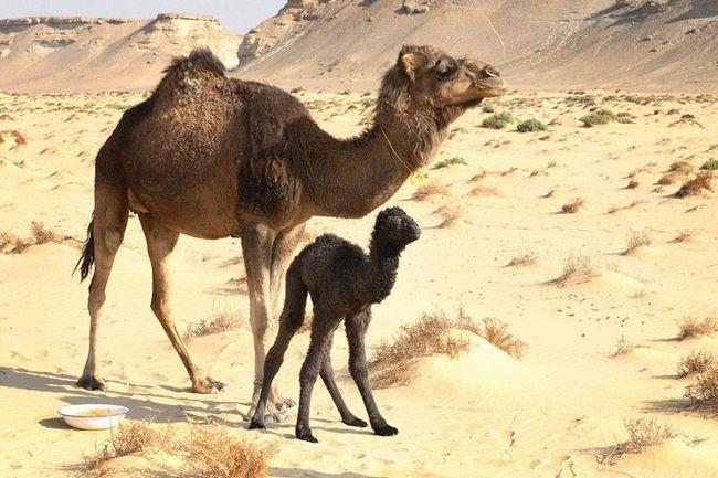 Ženski Dromedary ili Dromedary (Camelus dromedarius) sa deve rijetkim crnim bojanje