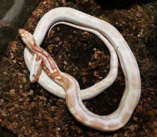 Dvoglava zmija zhivoesvidetelstvo antičkih mitova