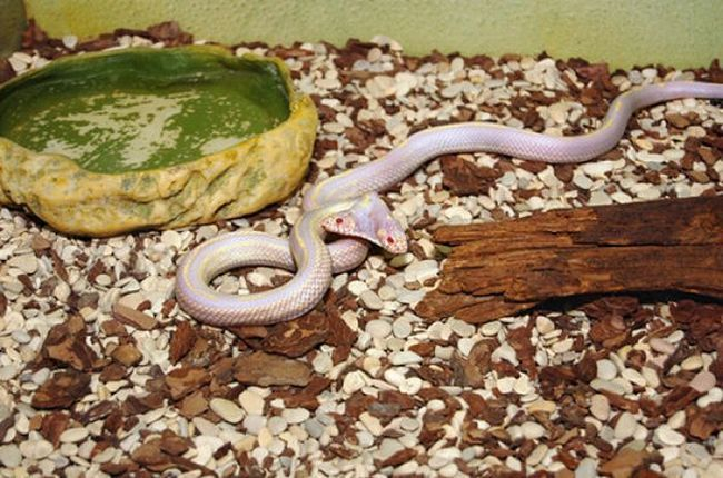 Dvoglava zmija dnevni iskaz antičkih mitova