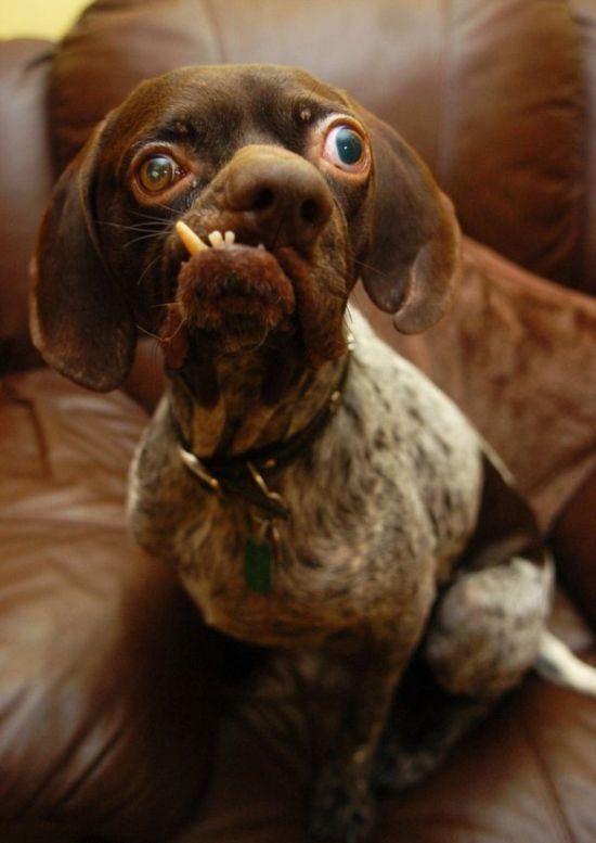 Двухлетний пойнтер-кросс носит звание самой страшной собаки Британии - фото Daily Mail