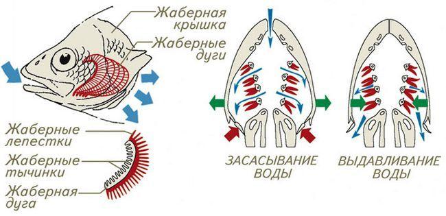 Respiratornog sistema ribe fotografija