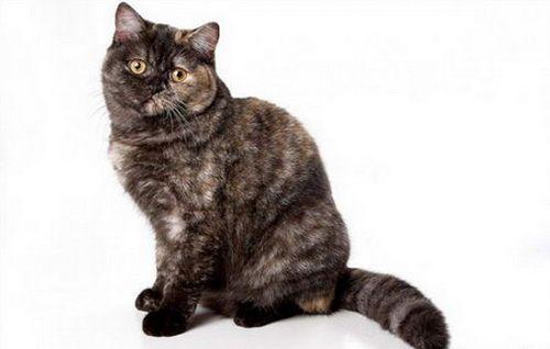Дымчатые окрасы британских кошек