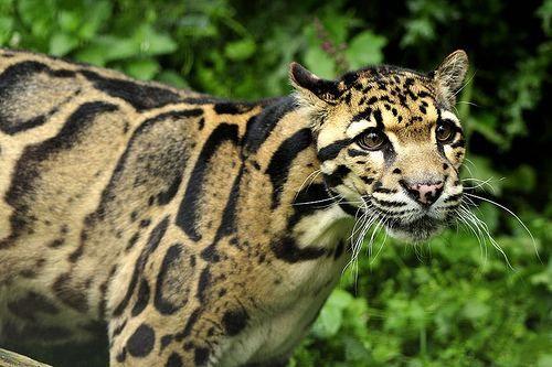 Leopard zamagljene - Neofelis nebulosa