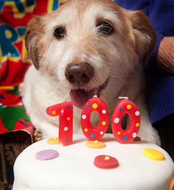 Jack Russell po imenu Daisy slavi 100 godina postojanja