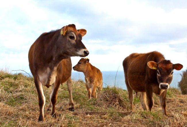 dzherseyskaya rase krava