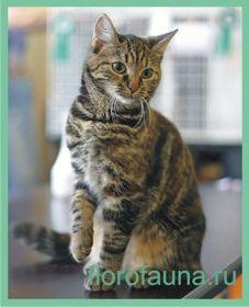 Evropeyskayakorotkosherstnaya mačka