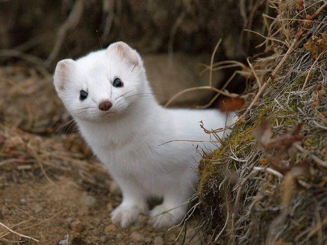 Ermine - predatorske životinje. živi u podzemnim jazbinama.