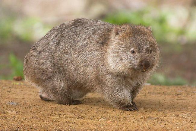 Wombat - sisara, kopaju rupe za svoju rezidenciju.