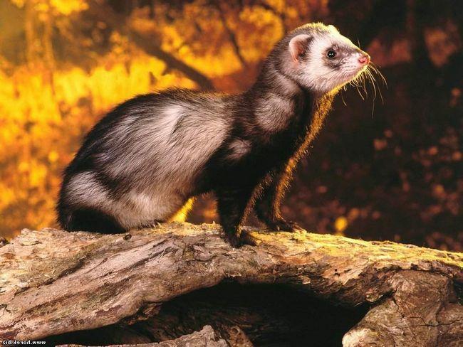 Weasel - stanovnik u tamnicu.
