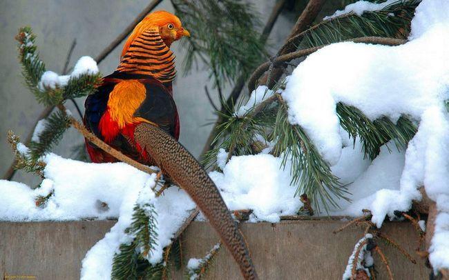 Золотой фазан - очень красивая птица.