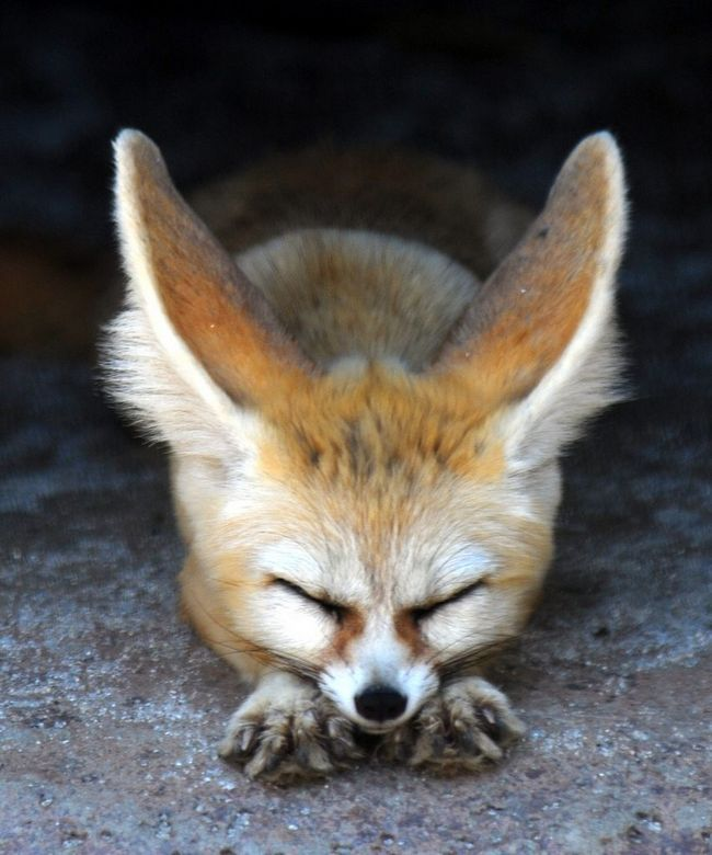 Фенек (лат. Vulpes zerda) — миниатюрная лисица