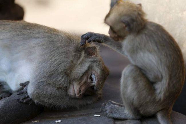 Opice odpočívá.