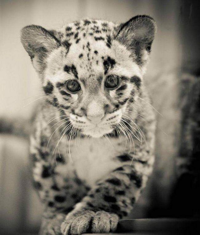 imenu Mowgli beba rođena u zoološkom vrtu na Floridi.