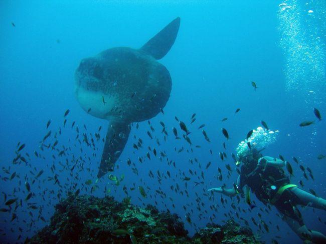 Riba moon - najveći košljoribe na svijetu!