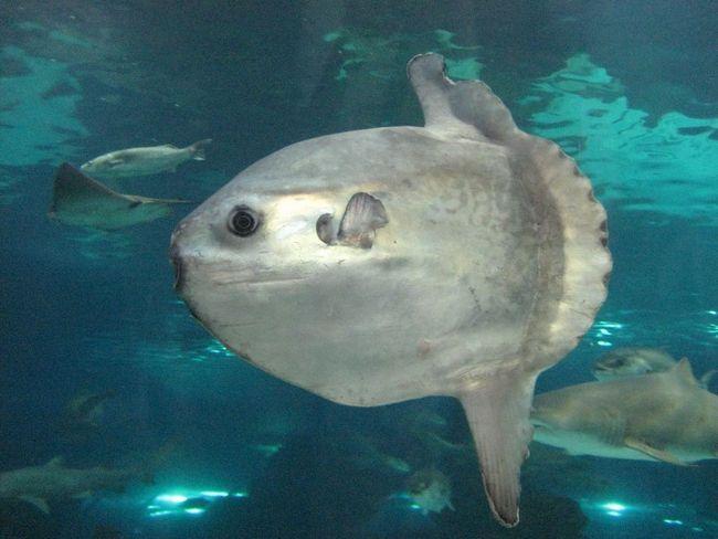 Riba moon je ne samo najveća, nego i najplodnijih!