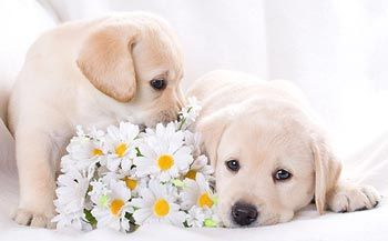 красивый щенок басенджи