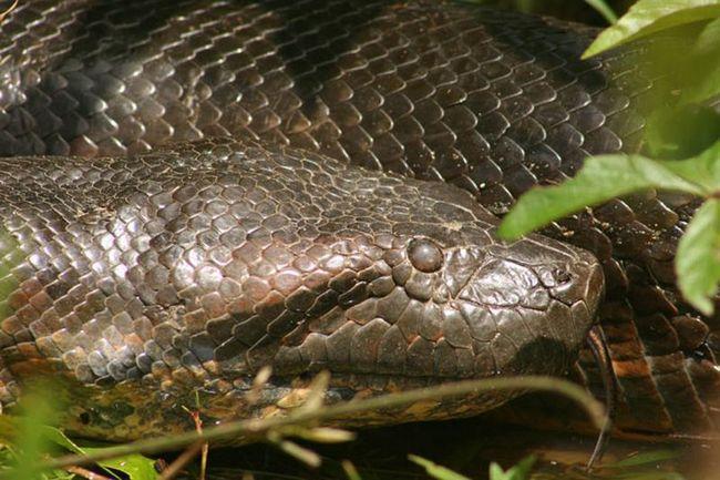 Fotograf je potonuo u Amazon da se slika 8 metara anakonda