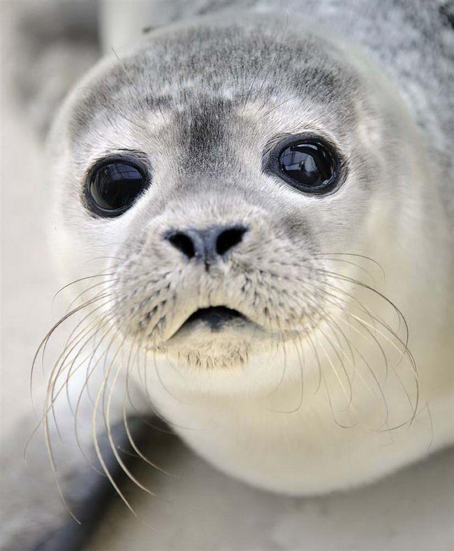 Štěně ležící vedle bazénu v chovné stanici v Norddeich, severním Německu. 22 let dozorce Fritz Rabenstein roste opuštěné tulení mláďata, než se vrátí zpět do jejich přirozeného prostředí.
