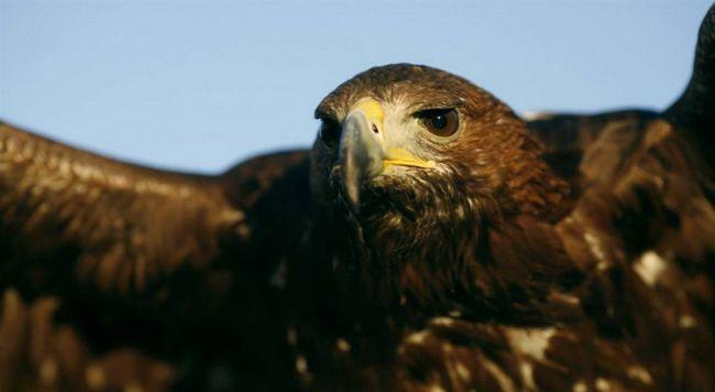 Golden Eagle na mezinárodním veletrhu ptáků v Guillen, Španělsko.