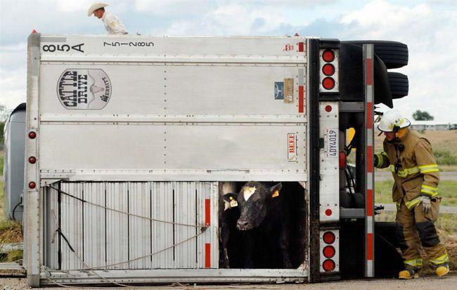 Hasič se snaží nalákat na vyděšenou krávu z kamionu převrácený na silnici ve městě Roswell v Novém Mexiku.