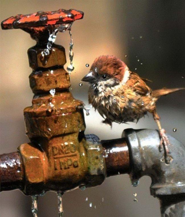 Sparrow pít z kohoutku proudící horký letní den v jihozápadním čínském městě Chongqing.